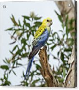 Pale-headed Rosella Acrylic Print