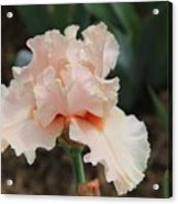 Pale Iris Acrylic Print