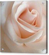 Pale Of Rose Acrylic Print