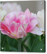 Pale Pink And White Parrot Tulips In A Garden Acrylic Print