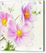 Pale Pink Anemone Acrylic Print