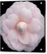 Pale Pink Camelia Acrylic Print