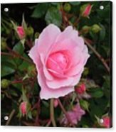 Pale Pink Rose Oregon Coast Acrylic Print