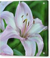 Pale Pink Stargazer Lillies II 2010 Acrylic Print