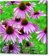 Pale Purple Coneflowers Acrylic Print