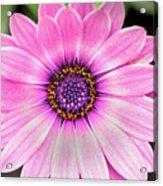 Pale Purple Flower Acrylic Print