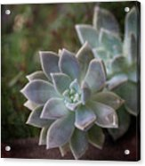 Pale Succulent On Artistic Background, Macro Acrylic Print