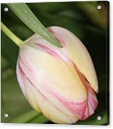 Pale Yellow And Pink Tulip Acrylic Print