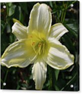 Pale Yellow Flowering Lily Blossom In A Garden Acrylic Print