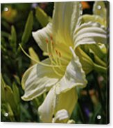 Pale Yellow Lily In A Garden Of Daylilies Acrylic Print