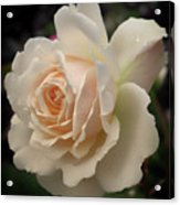 Pale Yellow Rose After The Rain - Glow Acrylic Print