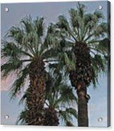 Palm Desert Palms  Acrylic Print