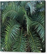 Palm Fronds Acrylic Print