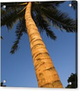 Palm In Blue Sky Acrylic Print