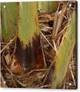 Palm Tree Close Up Acrylic Print