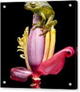 Palm Treefrog On A Banana Flower Acrylic Print