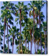 Palm Trees. California, Sunny Beauty Acrylic Print