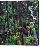 Palm Trunks And Waterfall El Yunque Acrylic Print