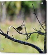 Palm Warbler Greetings Acrylic Print