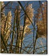Pampas Grass At Sunset Acrylic Print