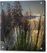Pampas Grass Sunset Acrylic Print