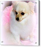 Pampered Pomeranian  Acrylic Print