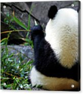 Panda Bear Eating Bamboo Acrylic Print