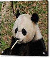 Panda Bear Eating Bamboo Shoots Up Close And Personal Acrylic Print