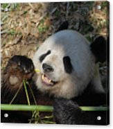 Panda Bear Laying On His Back And Eating Bamboo Acrylic Print