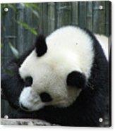 Panda Bear Sleeping On A Fallen Tree Branch Acrylic Print
