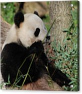 Panda Bear Smelling His Bamboo Before Eating It Acrylic Print