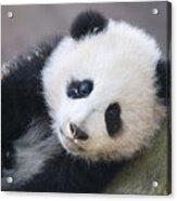 Panda Cub Acrylic Print