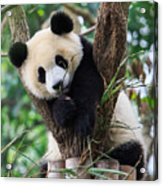 Panda Cub Resting On Tree Acrylic Print