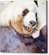 Panda Eating Acrylic Print by Bonnie Rinier