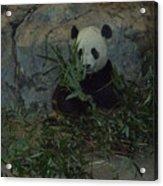 Panda Lunch Acrylic Print