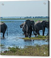 Panorama Of Elephant Herd Drinking From River Acrylic Print