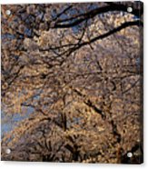 Panorama Of Forest Of Sakura Japanese Flowering Cherry Trees Wit Acrylic Print