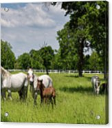 Panorama Of White Lipizzaner Mare Horses With Dark Foals Grazing Acrylic Print