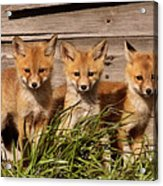 Panoramic Fox Kits Acrylic Print
