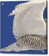Panoramic Prairie Snowy Owl  Acrylic Print