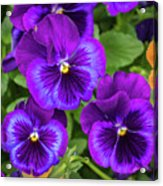 Pansies In Purple And Blue Acrylic Print