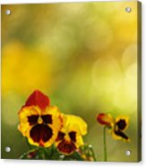 Pansies In The Autumn Glow Acrylic Print
