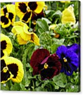 Pansies Of A Different Color Acrylic Print