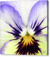 Pansy 01 - Thoughts Of You Acrylic Print