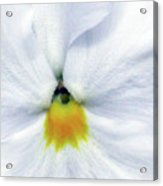Pansy 03 - Thoughts Of You Acrylic Print