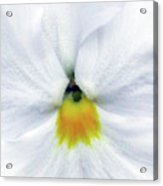 Pansy 05 - Thoughts Of You Acrylic Print