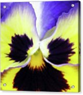 Pansy 09 - Thoughts Of You Acrylic Print