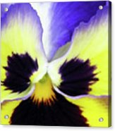 Pansy 10 - Thoughts Of You Acrylic Print