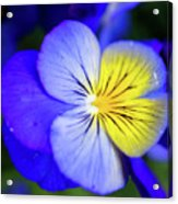 Pansy Close-up Square Acrylic Print