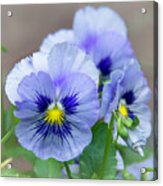 Pansy Flowers Acrylic Print